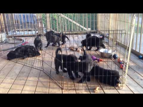 BLACK GERMAN SHEPHERD PUPPIES PLAYING