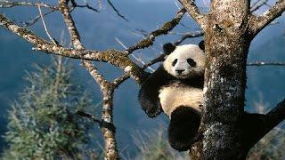 Panda Nursery - Trailer
