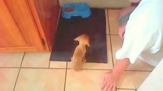 "Dachshund Puppy - Training To ""ask"" Before Eating A Meal"