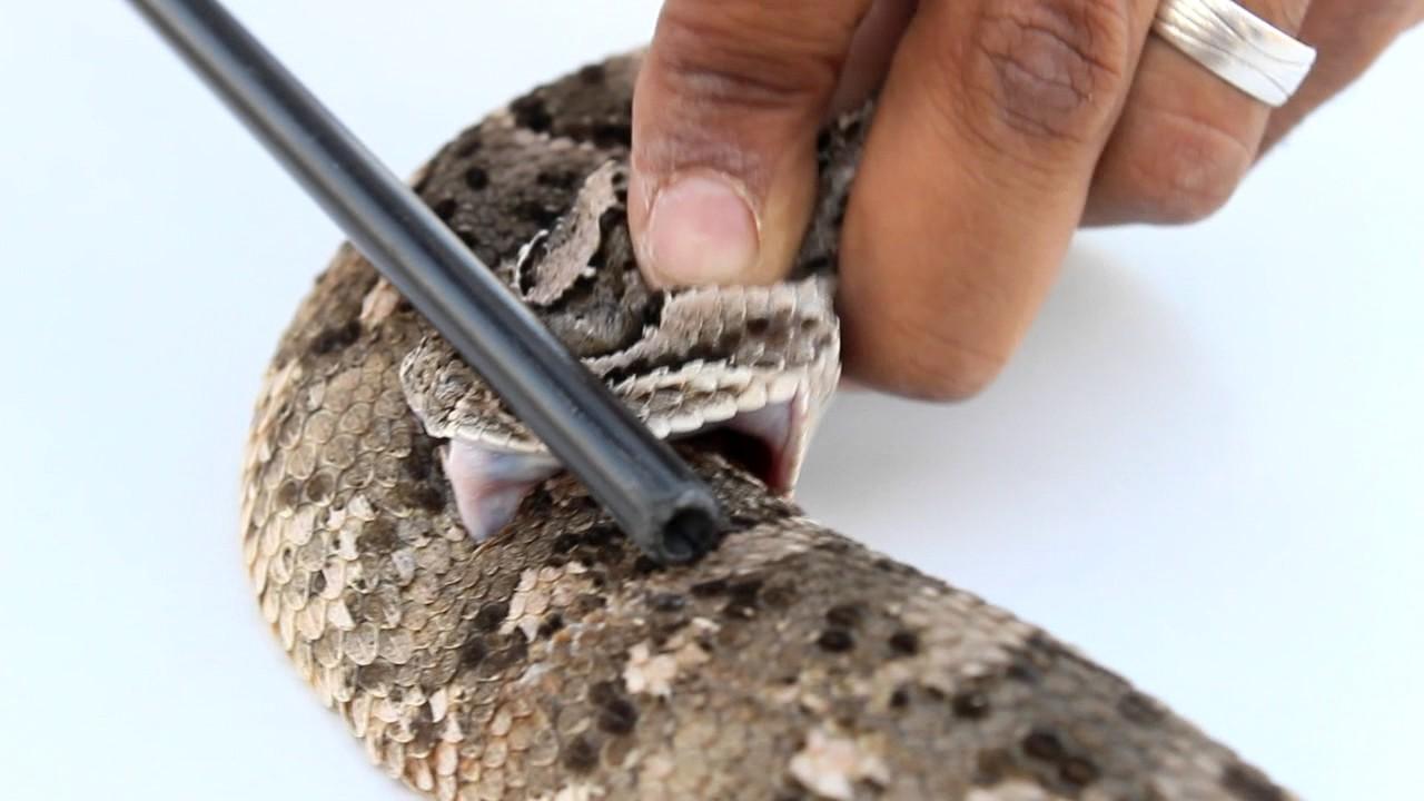 تجربة سم اخطرأنواع الثعابين النوامة لدغت نفسها Youtube