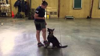 """Red Sable Coated German Shepherd """"keira"""" Home Raised Fun Happy Dog For Sale"""