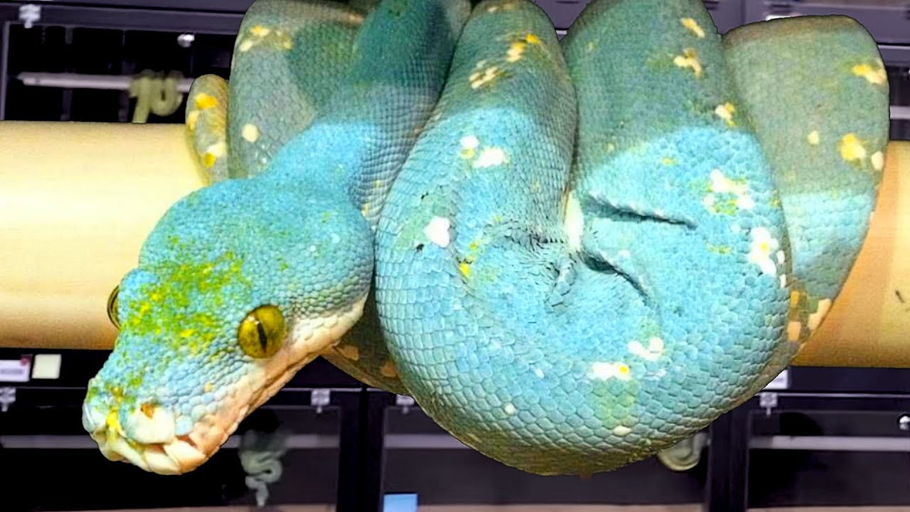 They Produced Blue Snakes For Real Brian Barczyk Youtube