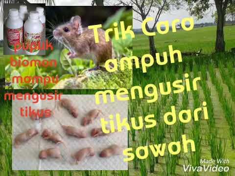 Trik Jitu dan cara mengusir Tikus dirumah maupun sawah