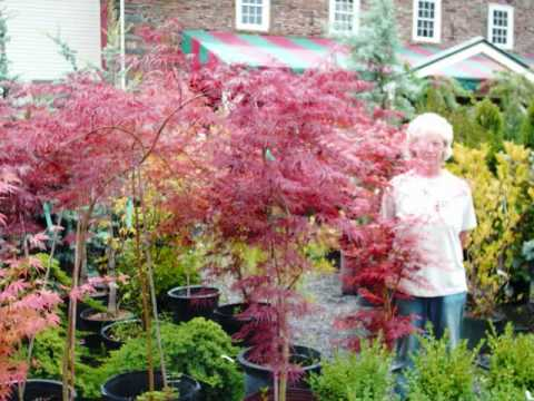 109 trees we sell red japanese maples for sale youtube for Maple trees for sale