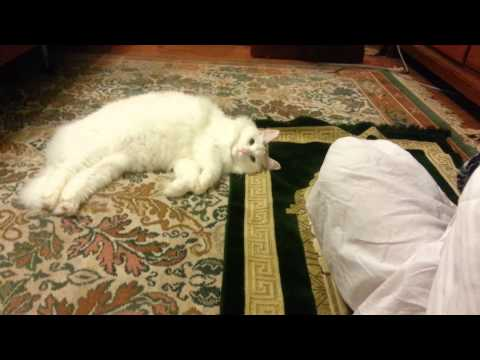 During Ramadan, Belle the Turkish Van Cat Joins in to Pray