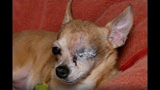 Стальной глаз мужественной собаки. I'll be back!