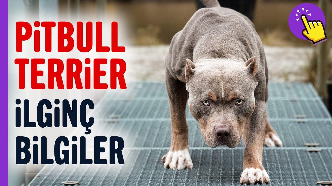Pitbull Terrier hakkında ilginç bilgiler | Hayvanlar Alemi | İlginç bilgiler | Aklında olsun