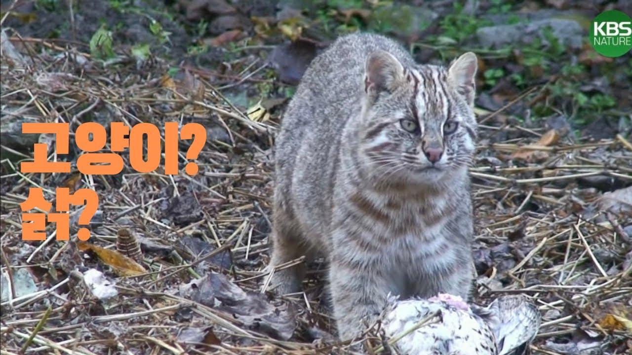 귀여운얼굴 그렇지못한 태도, 삵을 만나보다 | Cute face, not a cute manner.. leopard cat