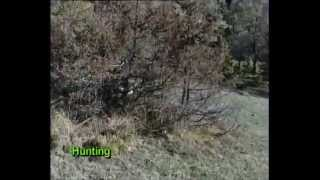 Springer Spaniel Κυνήγι Ιστορία Μορφολογία