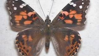 Painted Lady Butterfly Metamorphosis, Developing and Emerging Time Lapse