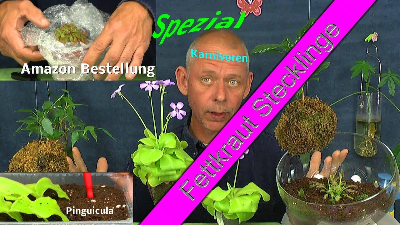 Sonnentau Pflanze Im Internet Eingekauft Und Fettkraut Stecklinge