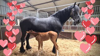 The next day... Orphan foal Rising Star JK and foster mother Queen👑Uniek
