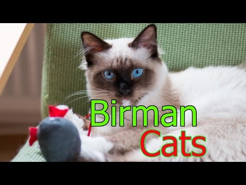 Birman Cats ★ AnyFuns Channel