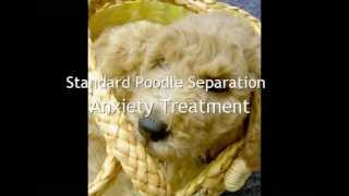 Standard Poodle Separation Anxiety Treatment