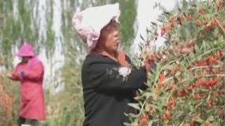 Рабочие заняты сбором урожая ягод годжи в китайской провинции Цинхай
