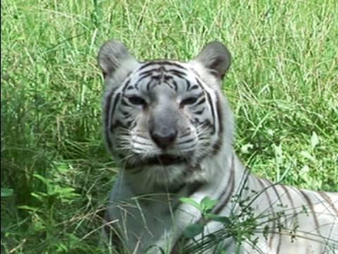 Q: Do TIGERS like catnip??