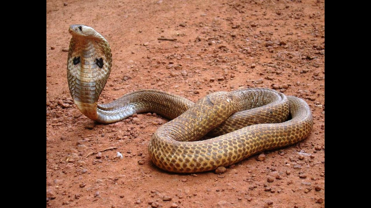 poisonous snakes in india Some colorful snakes, such as the scarlet snakes, the scarlet kingsnake, and the red milk snake, are non-venomous the black mamba, the coral snake, the cobra, and the inland taipan snake are venomous but have round pupils.