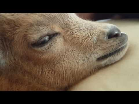 Rapid Eye Movement and Facial Twitches in sleeping baby goat