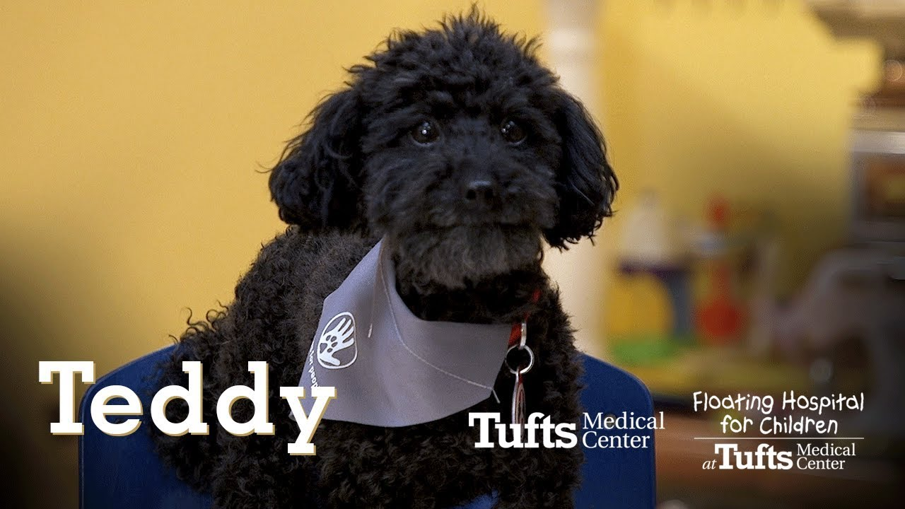 Teddy: Certified Pet Therapy Dog | Tufts Medical Center
