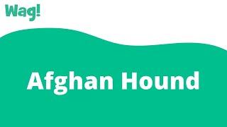 Afghan Hound | Wag!