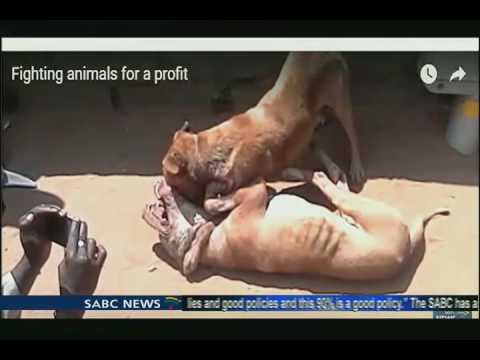Update on dog fighting scourge with Newsroom