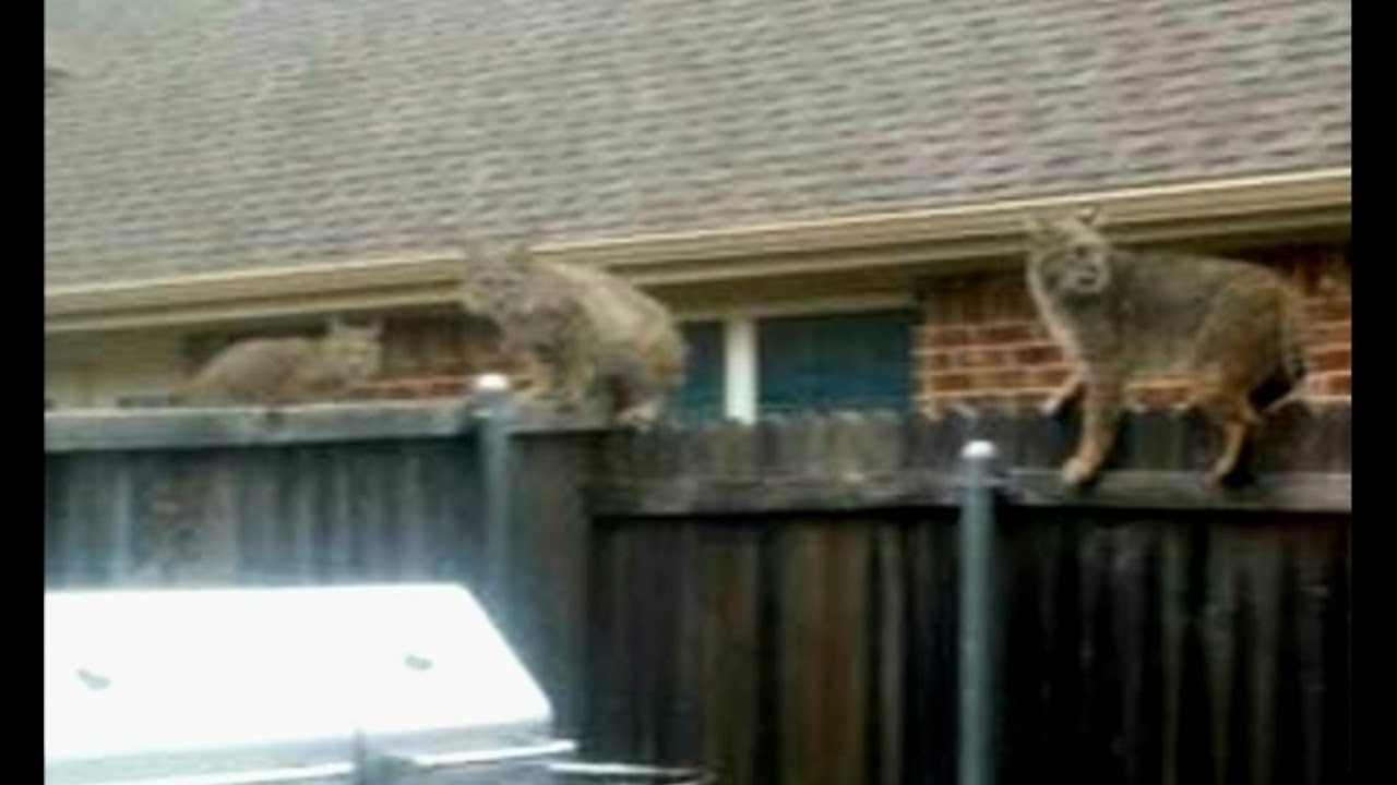 bobcat jumps into backyard kills dog youtube