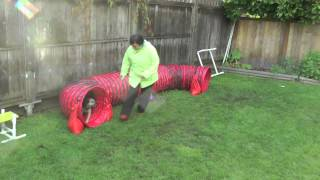 Border Terrier Brindi Does Agility