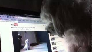 Cute Maltese Dog Watching Youtube