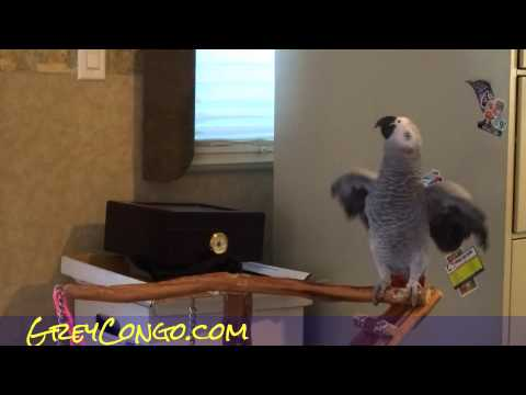 Grey Parrot Talking Congo African Bird Talk Singing Video