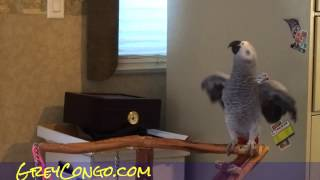 Grey Parrot Talking Congo African Bird Talk Singing Video