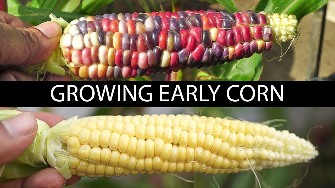 Growing Early Corn Two Delicious Varieties Reviewed