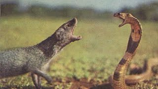 African cobra is punished!!when deliberately spraying venom into mongooses