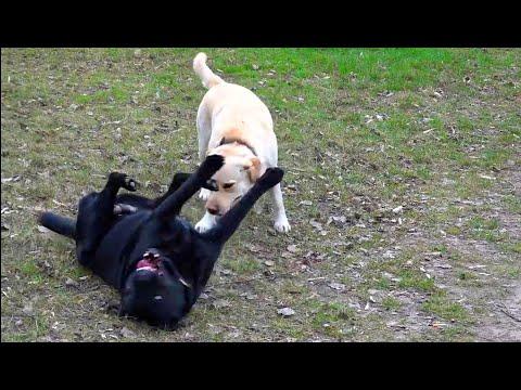 💕Лабрадоры Астин и Шейла. Ждём щенков. Labradors. Soon Puppies.