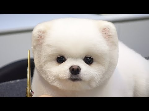 Dog Pet Puppy Pomeranian Grooming Teddy bear style
