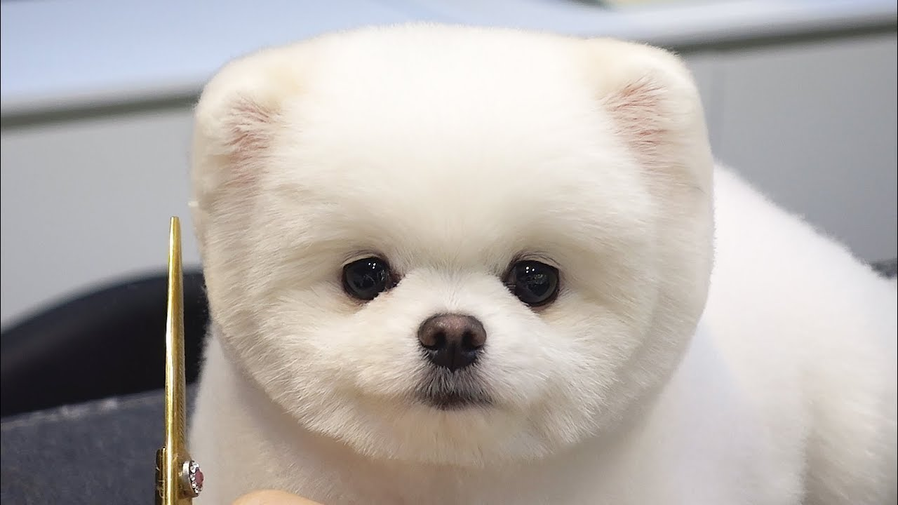 Adorable Pomeranian Puppy Sits In Obedience To Get A Teddy Bear Haircut