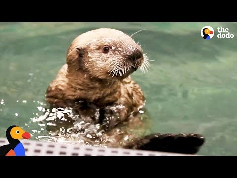 Orphaned Otter Pup Rescued by Moms Who Help Him Grow Up | The Dodo