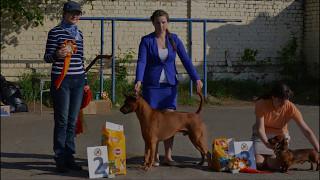 Тайский риджбек выставка собак Орел - Thai Ridgeback Dog show - R.S'S Gold@Siam