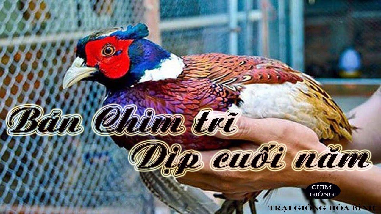 Các trang trại nuôi chim trĩ dịp cuối năm như thế nào,