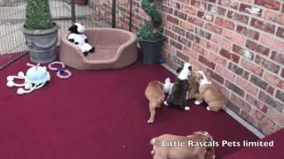 Little Rascals French X English Bulldog Puppies