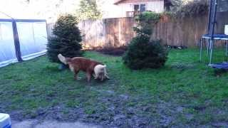 Standard Poodle Puppy Playing With Golden Retriever
