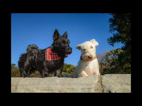 SNOOP AND DIZZEE - Scottish Terrier