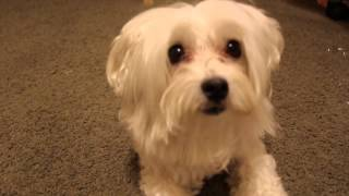 Cute Maltese Puppy Loves To Lick