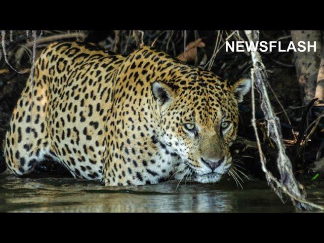 Isolated Jaguar Population In Brazilian Wetlands Defies Deer Eating Loner Stereotype By Eating Fish