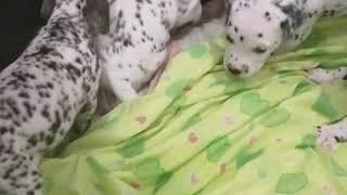 Продам щенков Далматина.