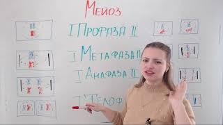 Митоз и мейоз. Решение задач на хромосомный набор клеток.
