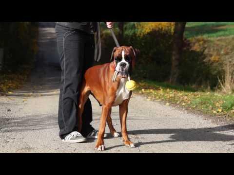 Gita Deutscher Boxer draußen in der Sonne