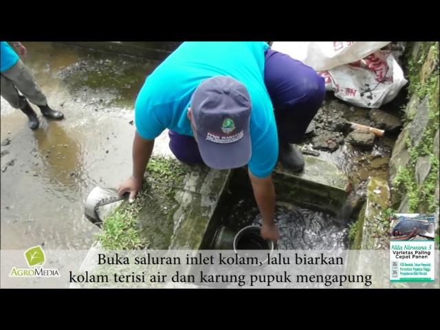 Persiapan Kolam Ikan Nirwana 3