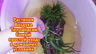 Воздушные растения Тилландсии Все очень просто и легко Уход в домашних условиях