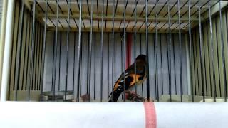 Mixto cardenalito con jilguero