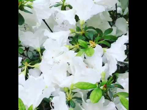 White azalea flowers in spring youtube white azalea flowers in spring mightylinksfo